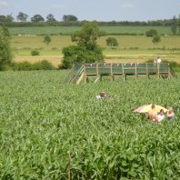 Looking across the maize towards the Grand Union Canal